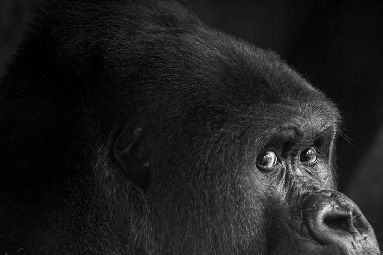Virus which causes COVID-19 threatens great ape conservation